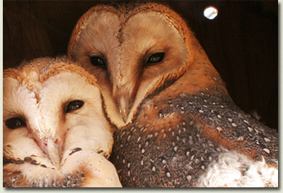summerhill stud barn owl with fledgling