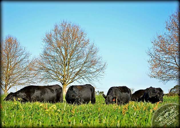 angus-cattle-4.jpg