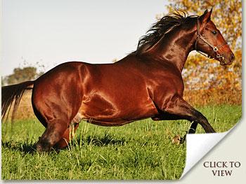 cataloochee stallion