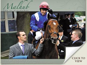 Malhub Stallion