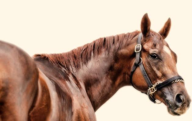 Animal Kingdom Horse