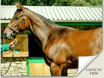 National Yearling Sale Lot 231 Captain Al - Spring Garland