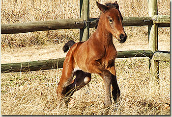 stronghold foal