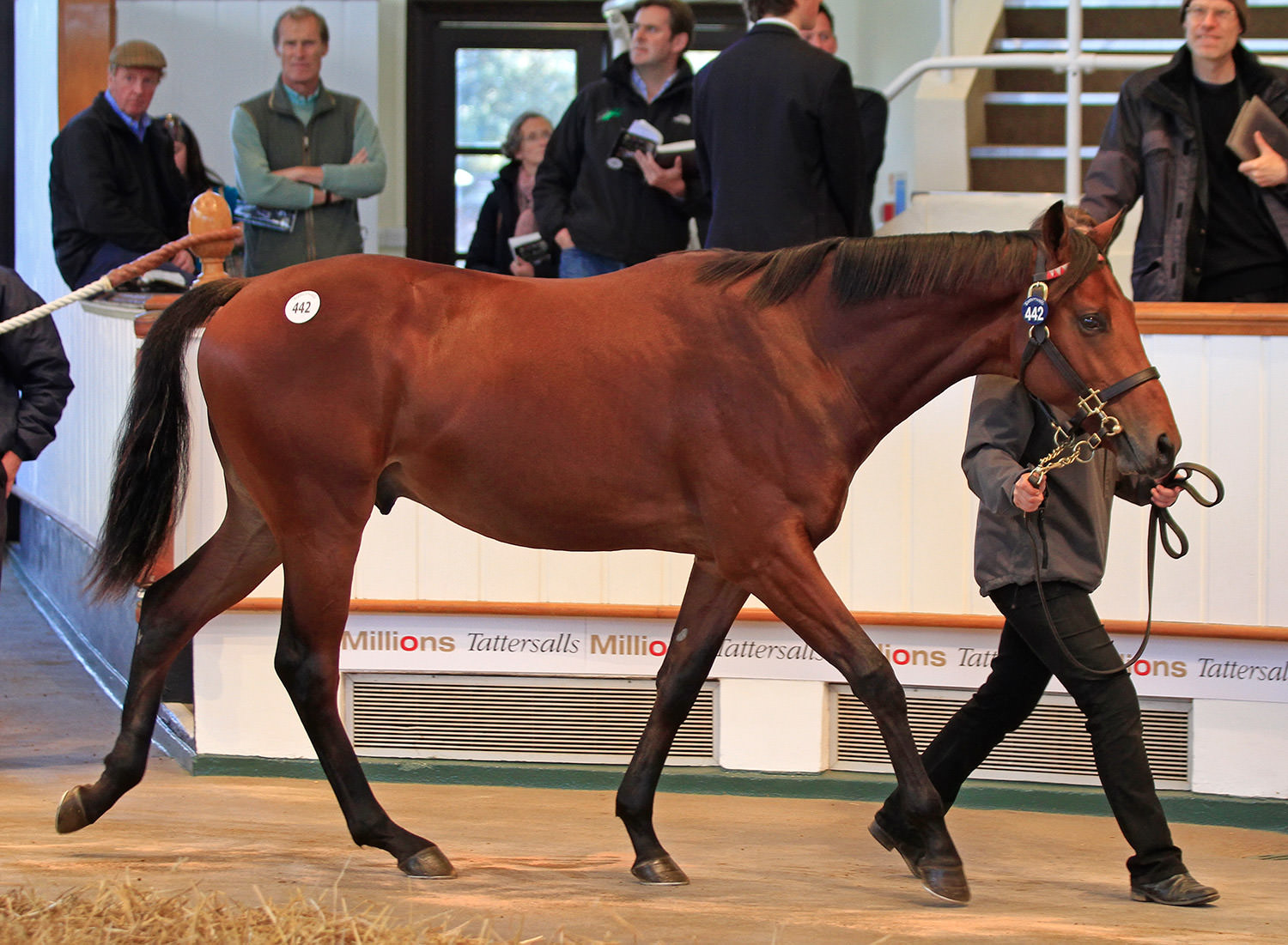 The Book 1 sales-topper, Lot 442, the Galileo half-brother to Harbinger, bred by Nick Ooi, consigned by Ashbrittle Stud and bought by MV Magnier for 2.6m guineas / www.tattersalls.com (p)