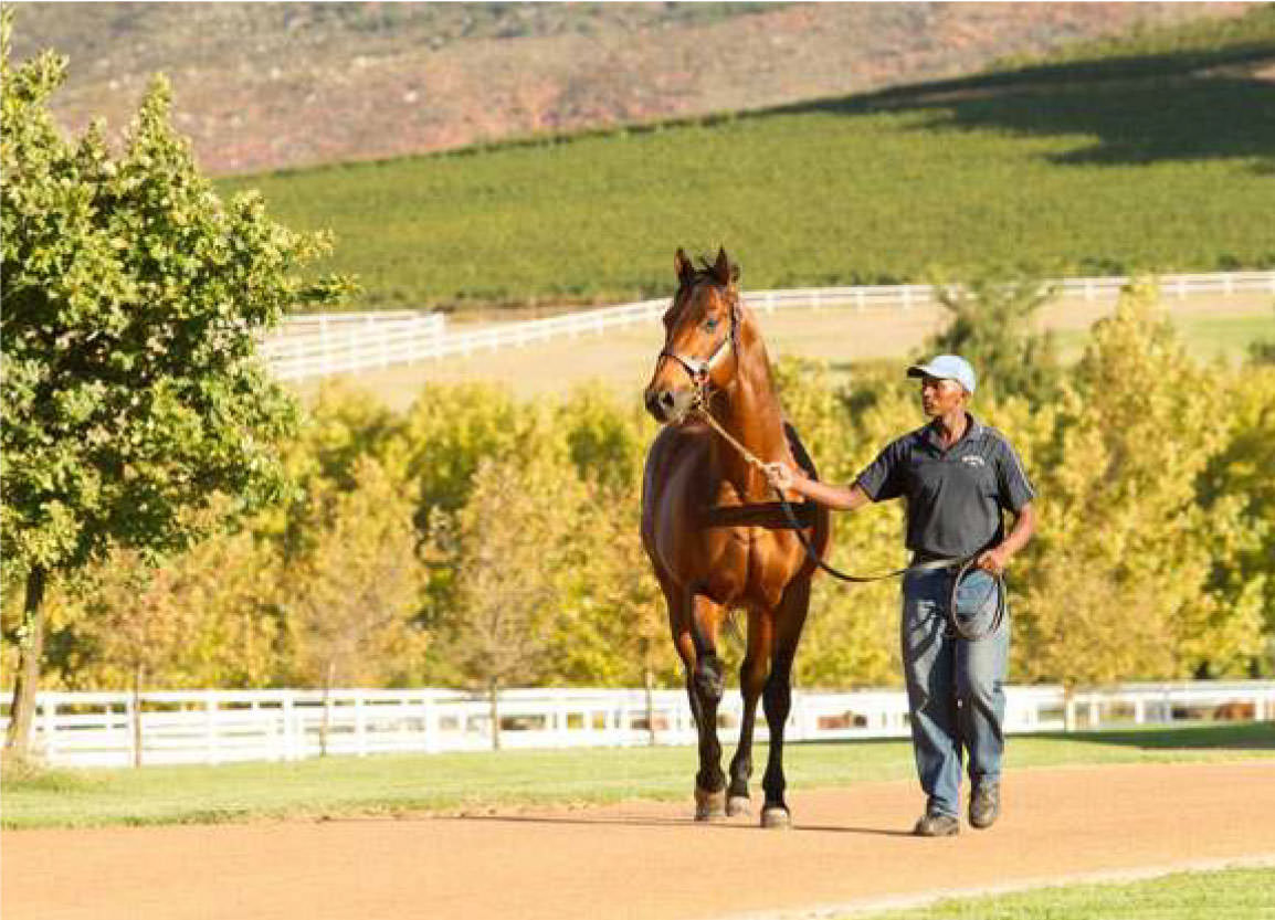 Duke of Marmalade is pictured recently at Drakenstein Stud in South Africa. He is the sire of three European Classic winners this season: G1 Prix de Diane winner Star of Seville. G1 Deutsches Derby scorer Nutan and G3 Italian 1000 Guineas winner Sound of Freedom. Duke of Maramalade is preparing for his second season at Drakenstein.