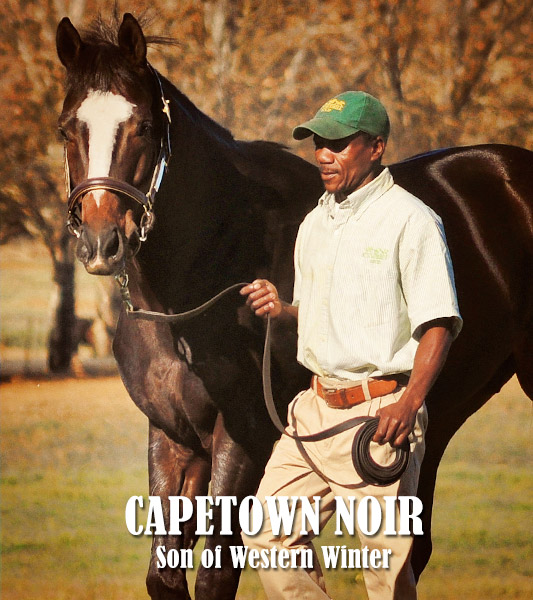 Capetown Noir Stallion