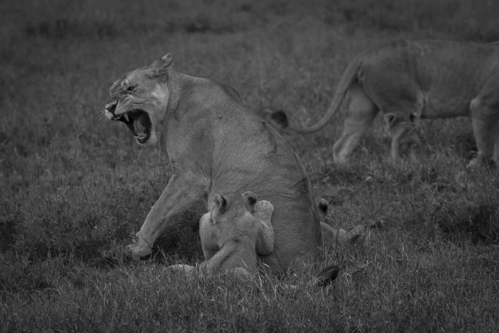 Lions-3831.jpg
