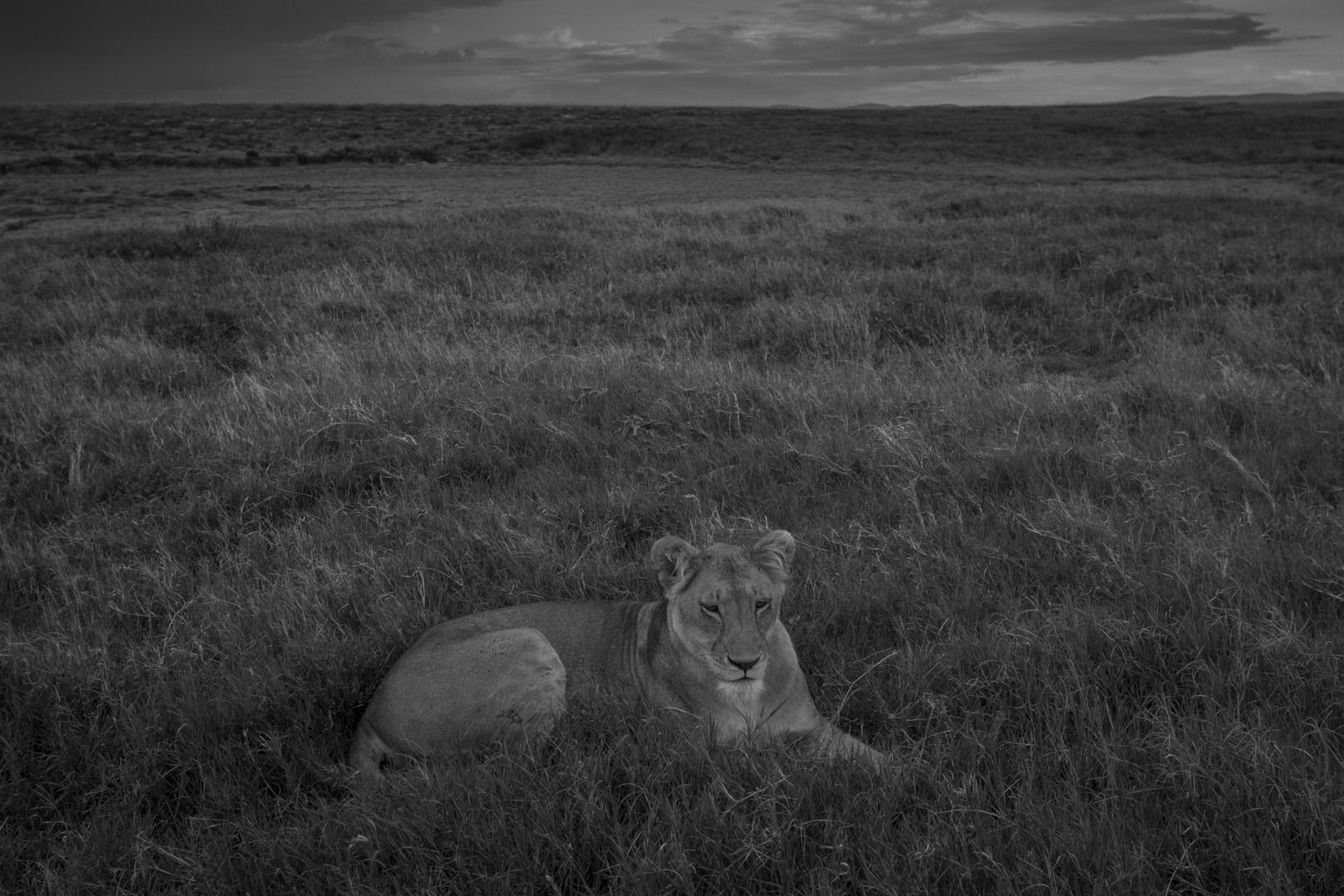Lions-3386.jpg