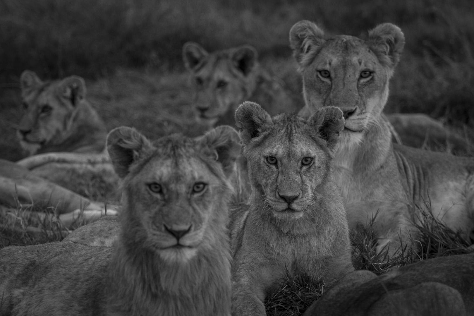 Lions-3456.jpg