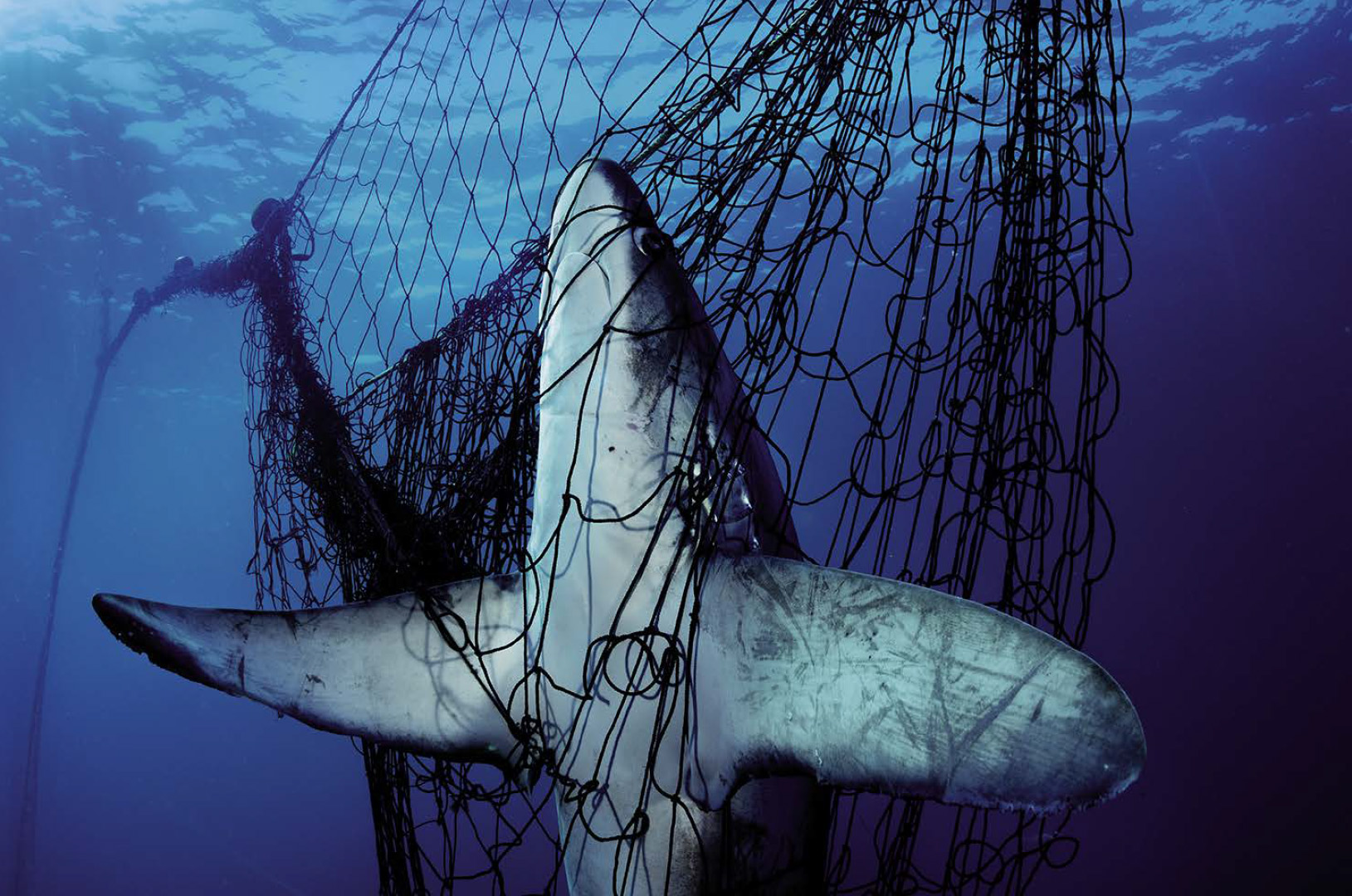 WC_Shark.jpg