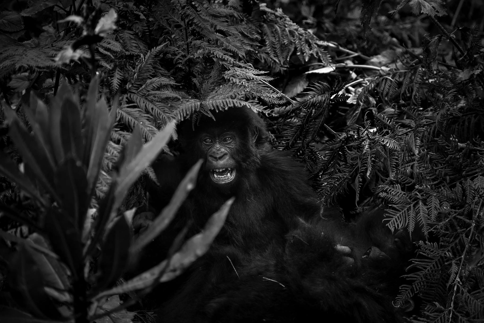 Volcanoes national park, Rwanda.Young ones of the Amahoro mountain gorilla family play in the jungle.