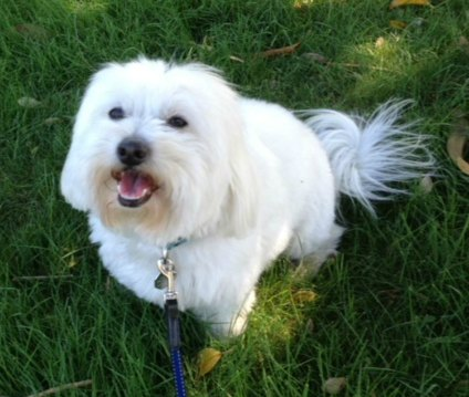 Bentley, my Coton de Tulear