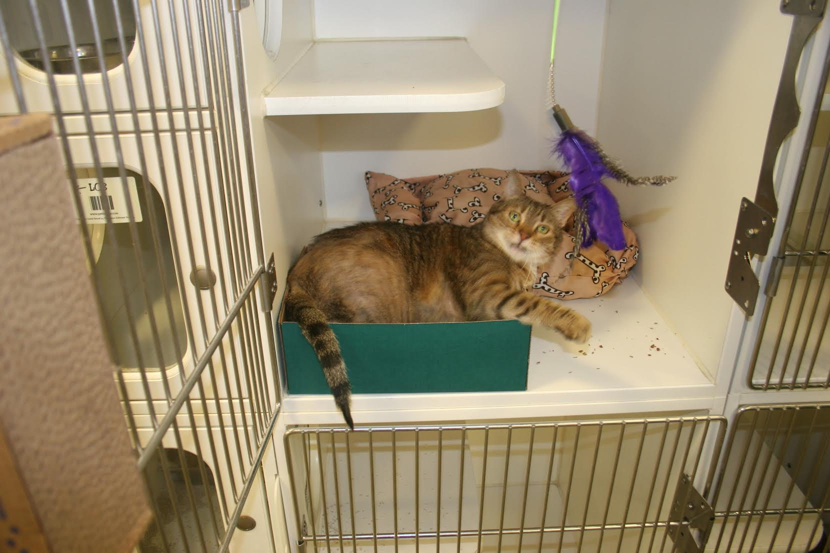 Lounging in luxury, this furry friend has it made while he waits for his forever home; a box for playing in, a bed for napping, a scratch pad, and a fun-loving volunteer to play feather-wand with.