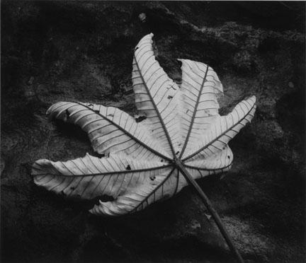 Aging Leaf