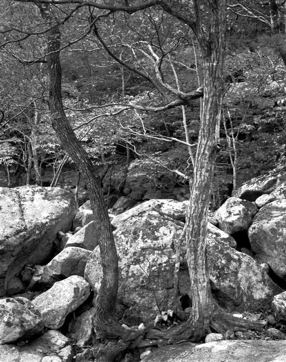 Korean Trees