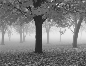 Maple Tree and Fog