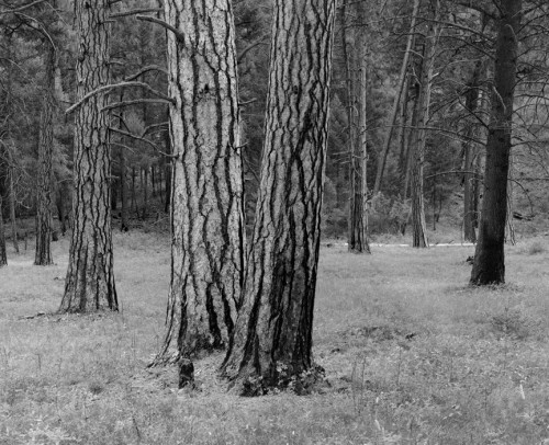 Tree Trunks Montana