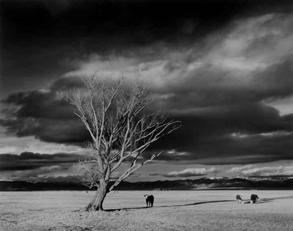Trees & Cows Colorado