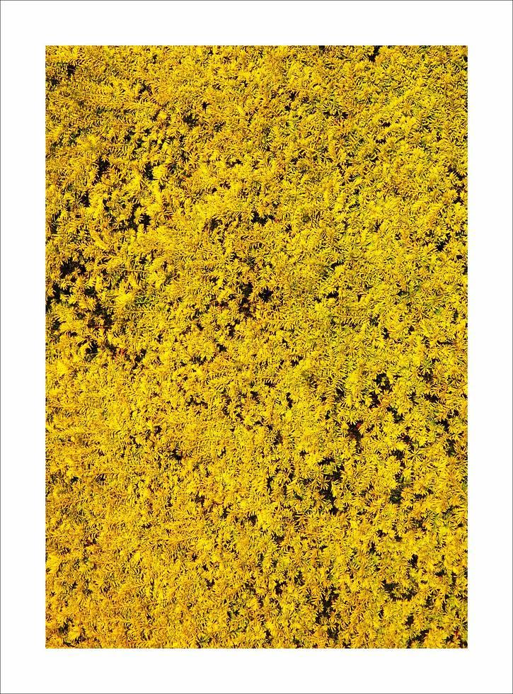 """Yellow 30"""" x 21"""""""