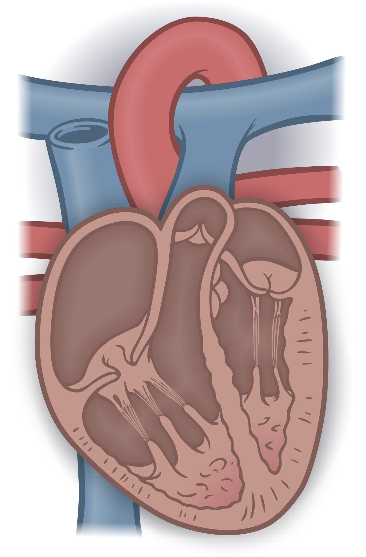 Human heart cross-section