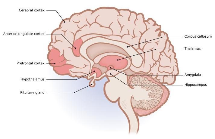 brain_sagittal.png