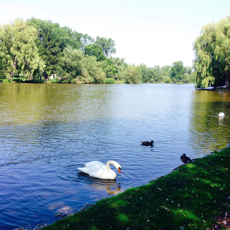 Beautiful swans outside the Festival