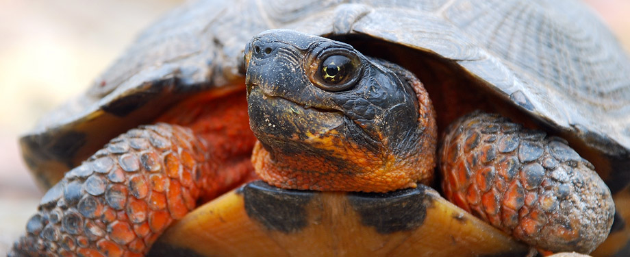 The Wood Turtle is identified as species at risk. A known habitat range occurs in the River Denys and associated tributaries.