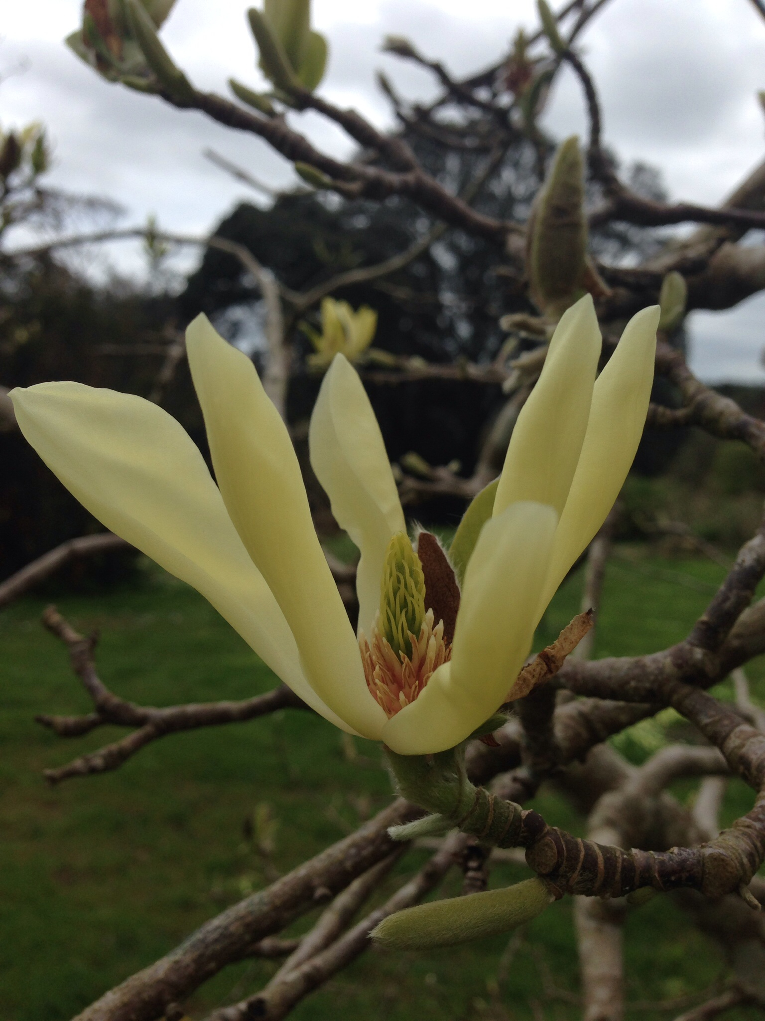 a stunning lemon magnolia at Tregothan charity open day - don't we all wish magnolia grew as fast as willow?!