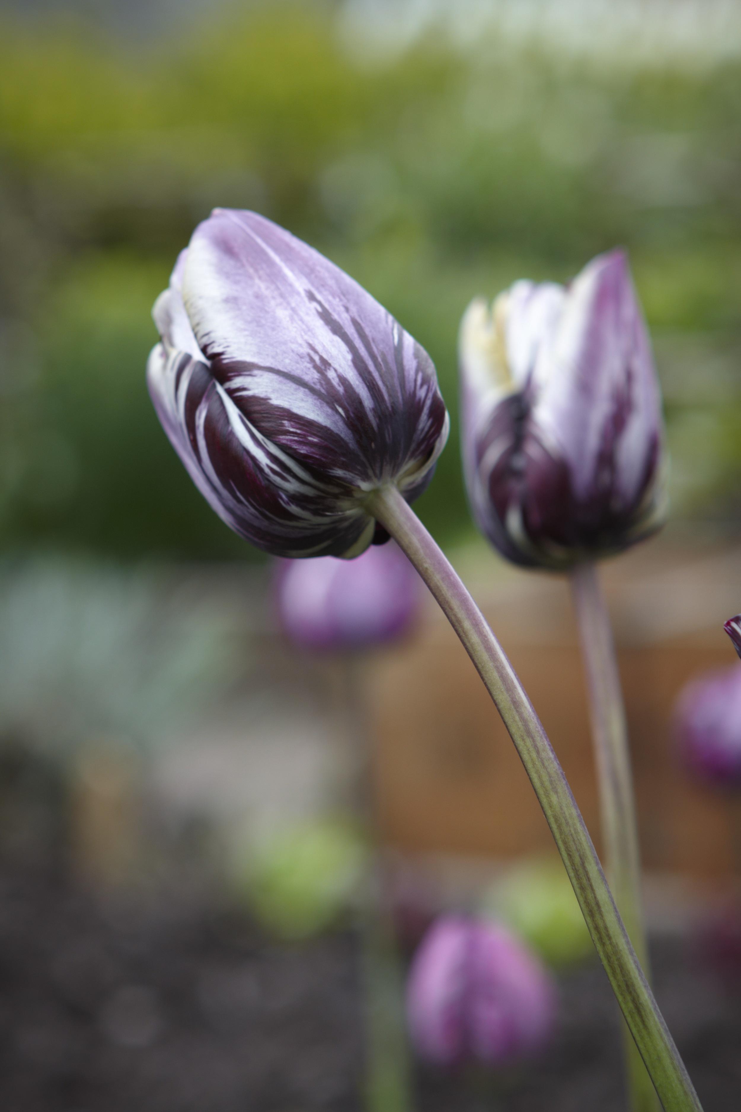 4.Tulip Insulinde.jpg
