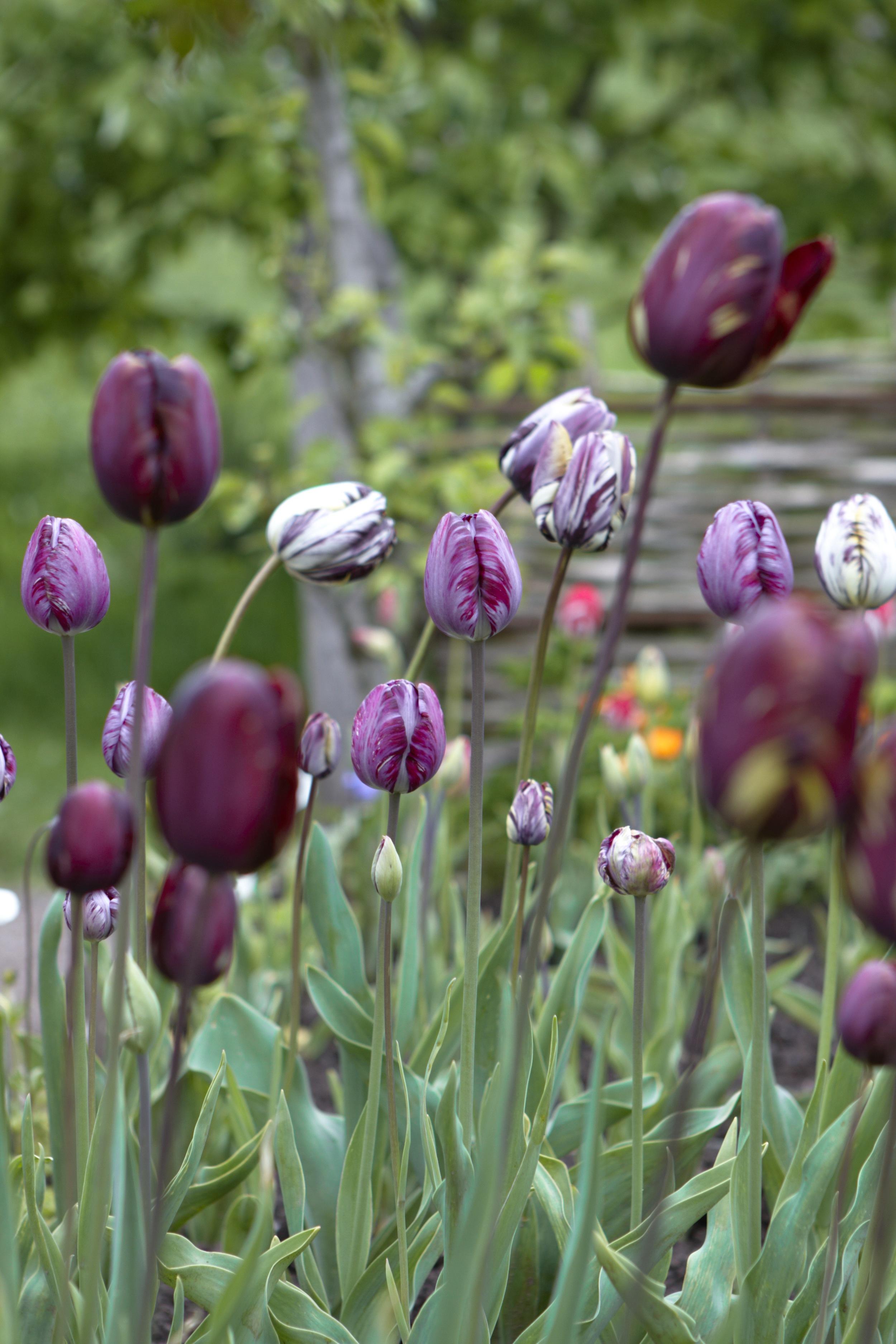 1.Mixed Tulips.jpg