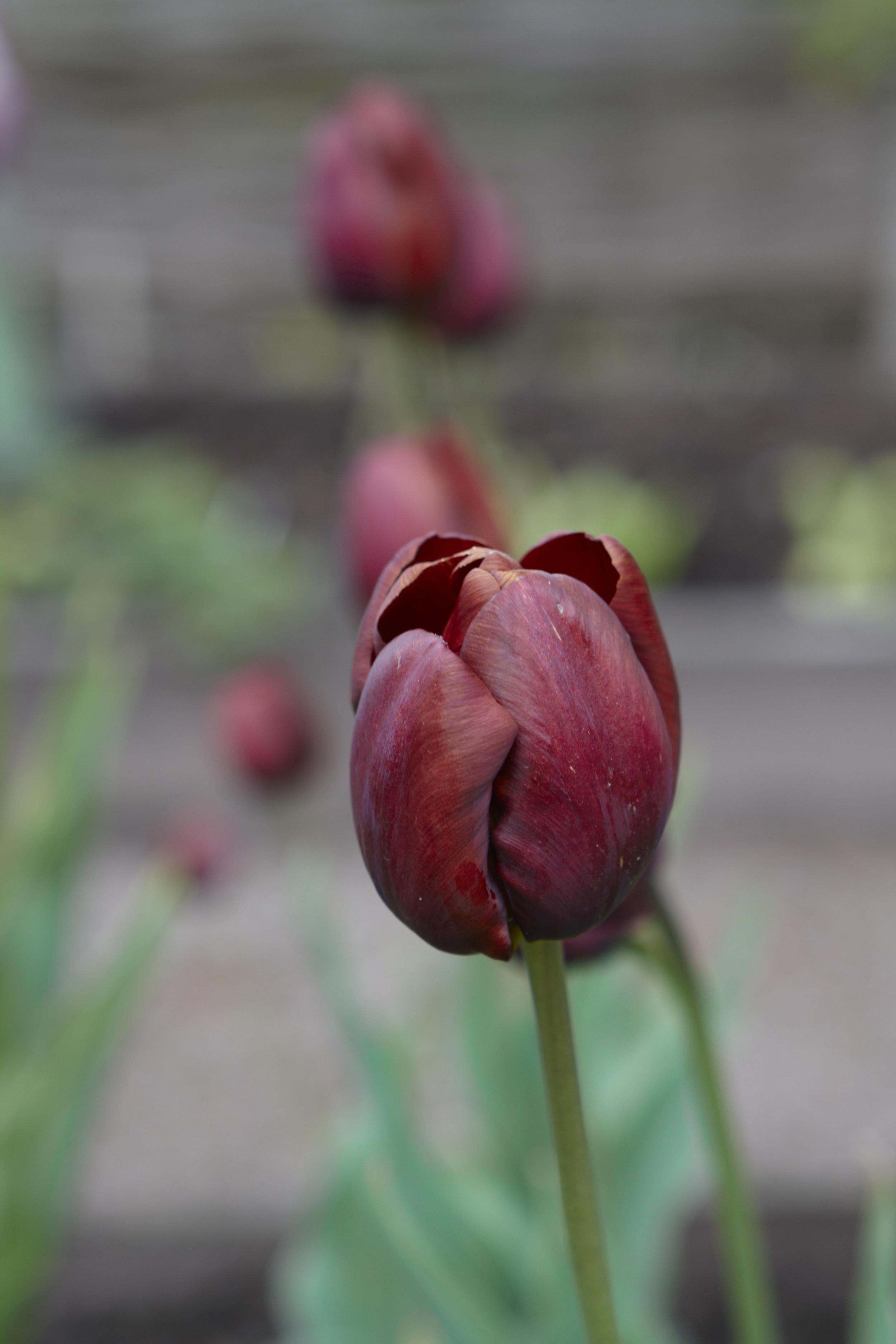 5.Tulip Dom Pedro.jpg