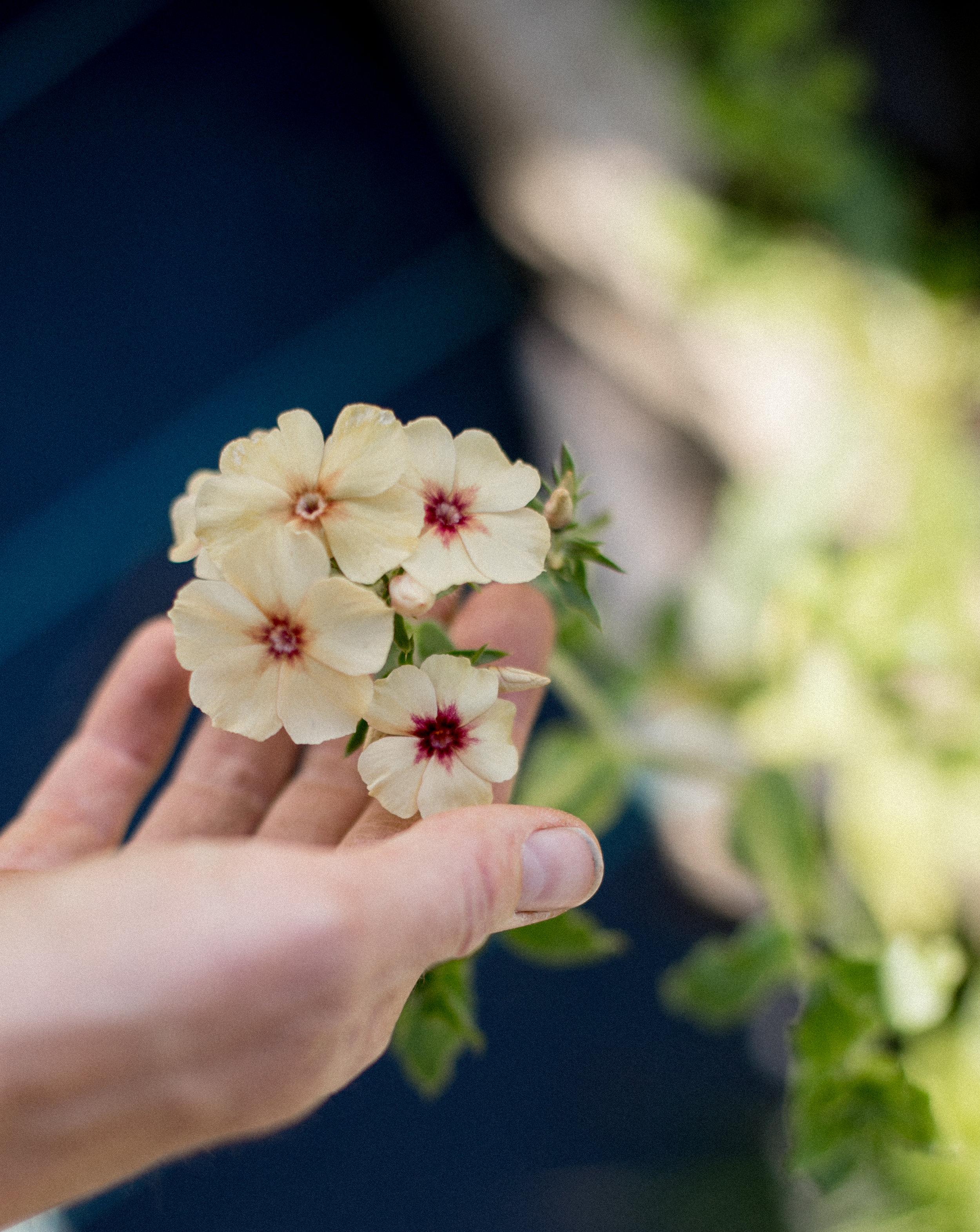 Creme Brûlée Phlox flowers
