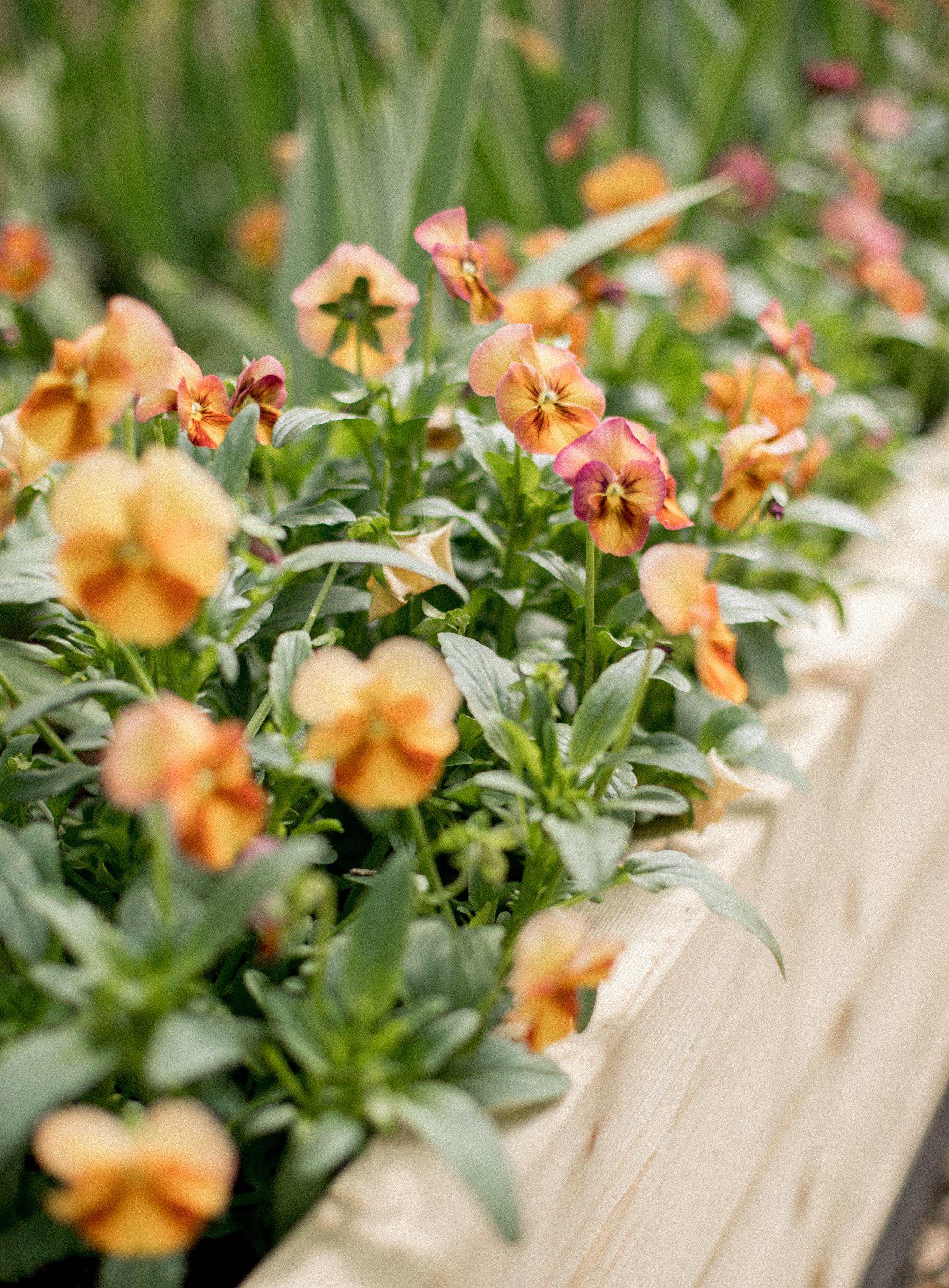 Floret Flowers - Viola Seed