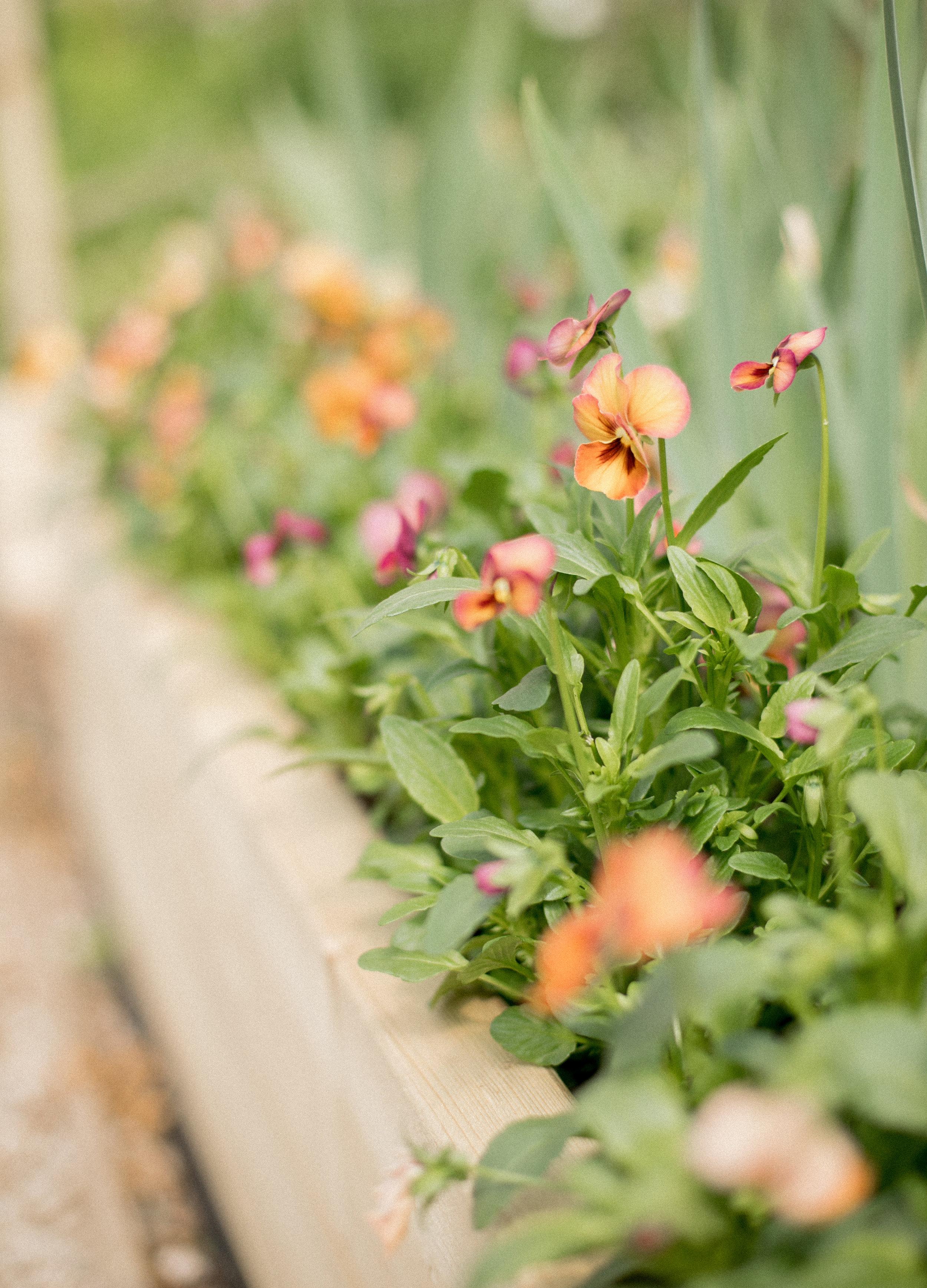 Floret Seed - Violas