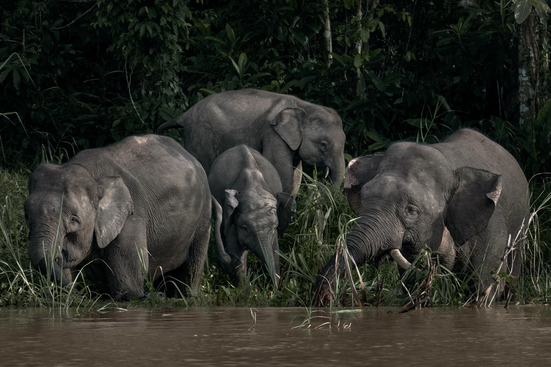 Pygmy Elephants on the banks of the Kinabatangan River.