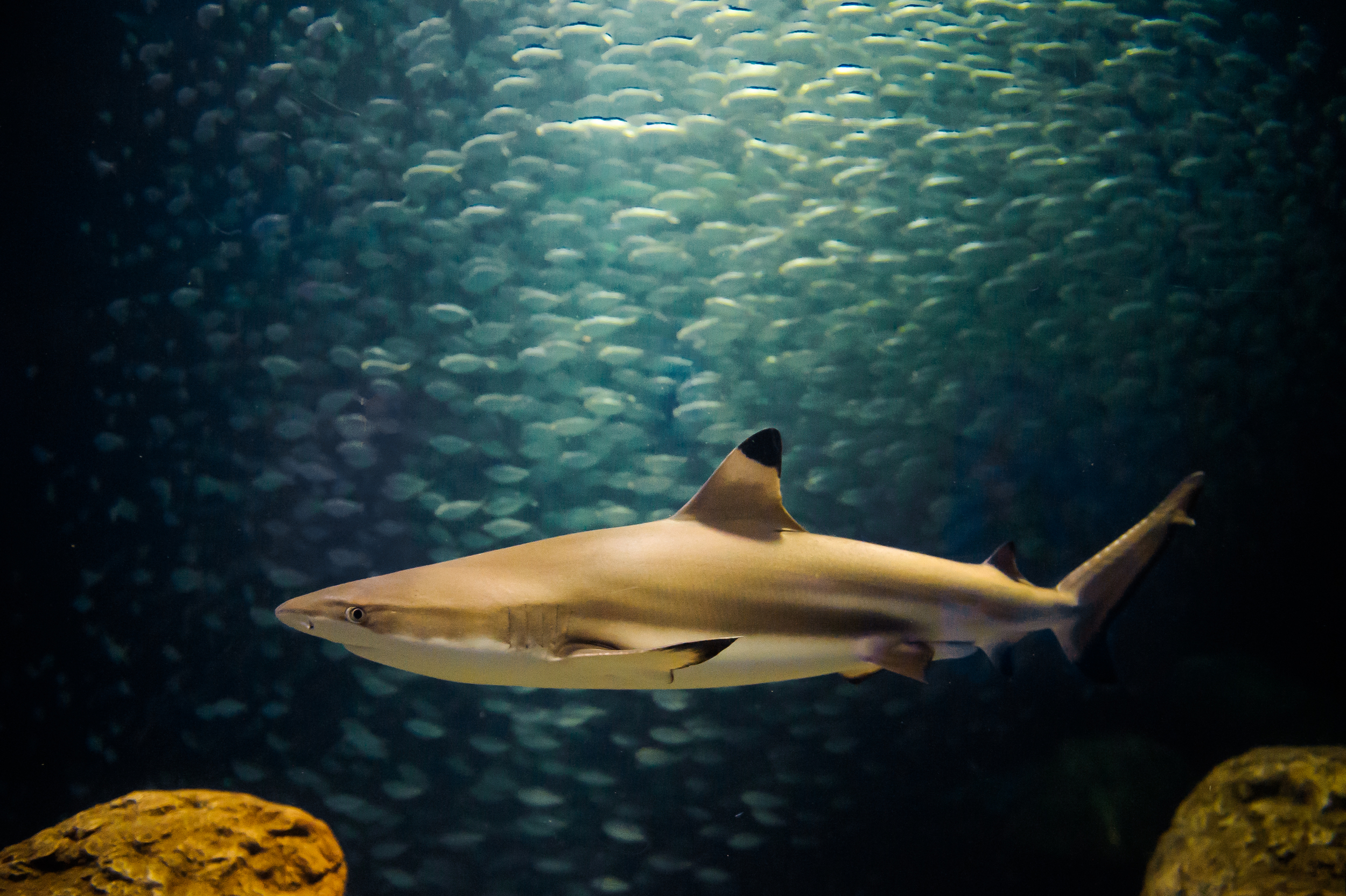 Atlantic Blacktip Shark