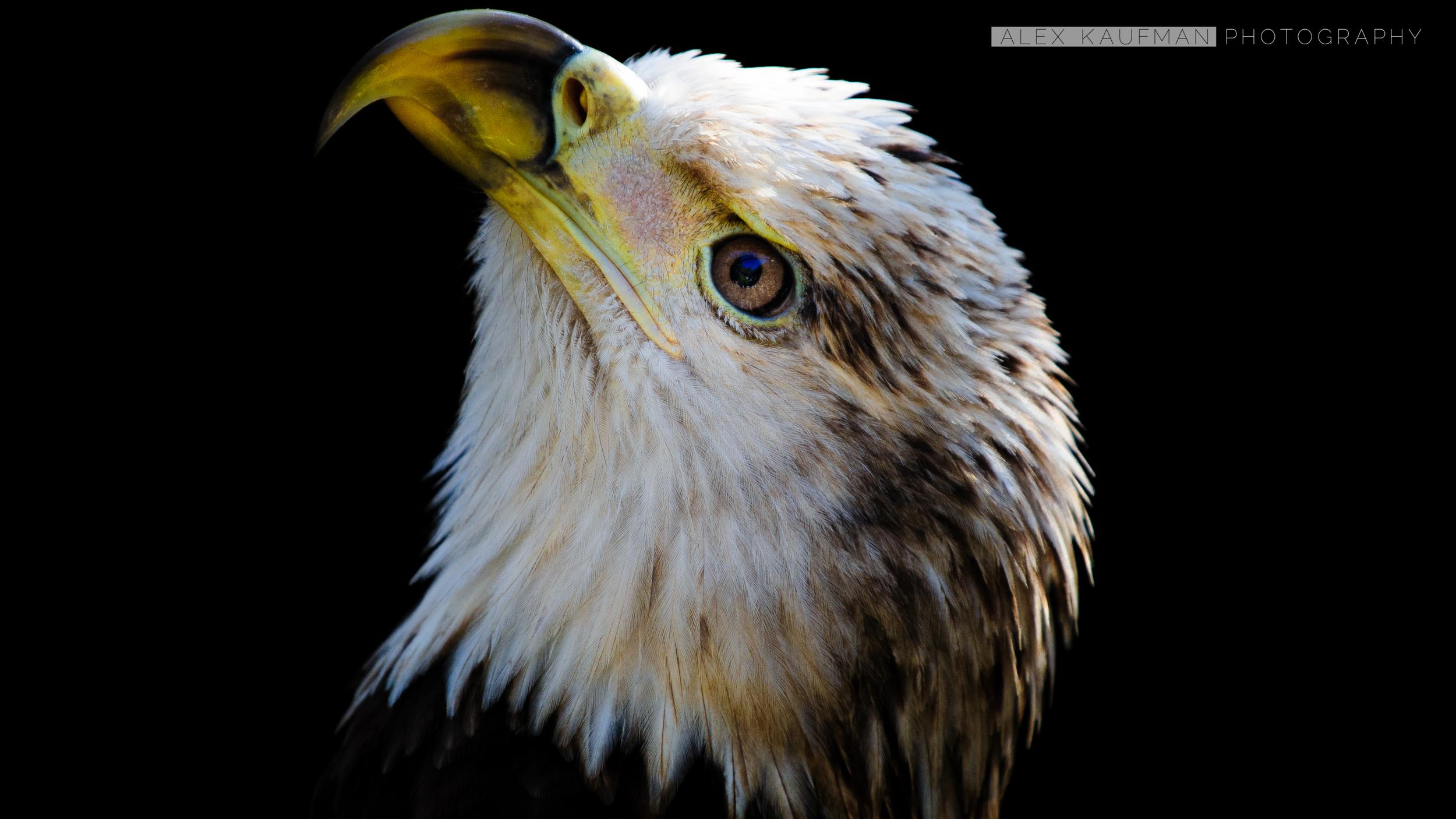 Rehabilitated Bald Eagle