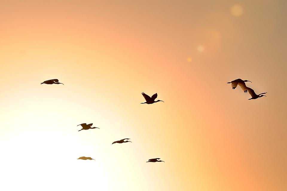 Ibis Flock at Sunset