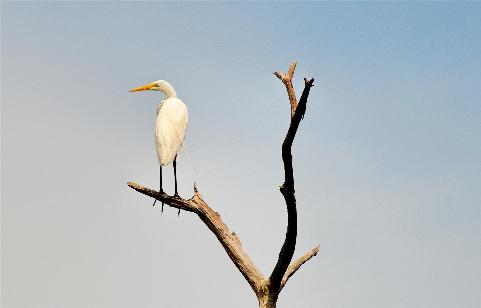 Egret on Branch