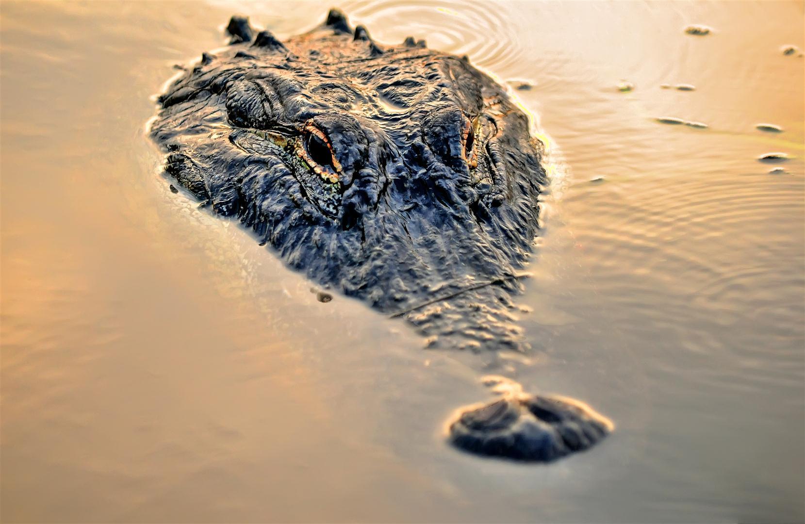 Gator at Sunset