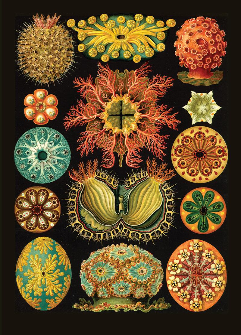 Ernst Haeckel | Kunstformen der Natur (1904), plate 85: Ascidiacea