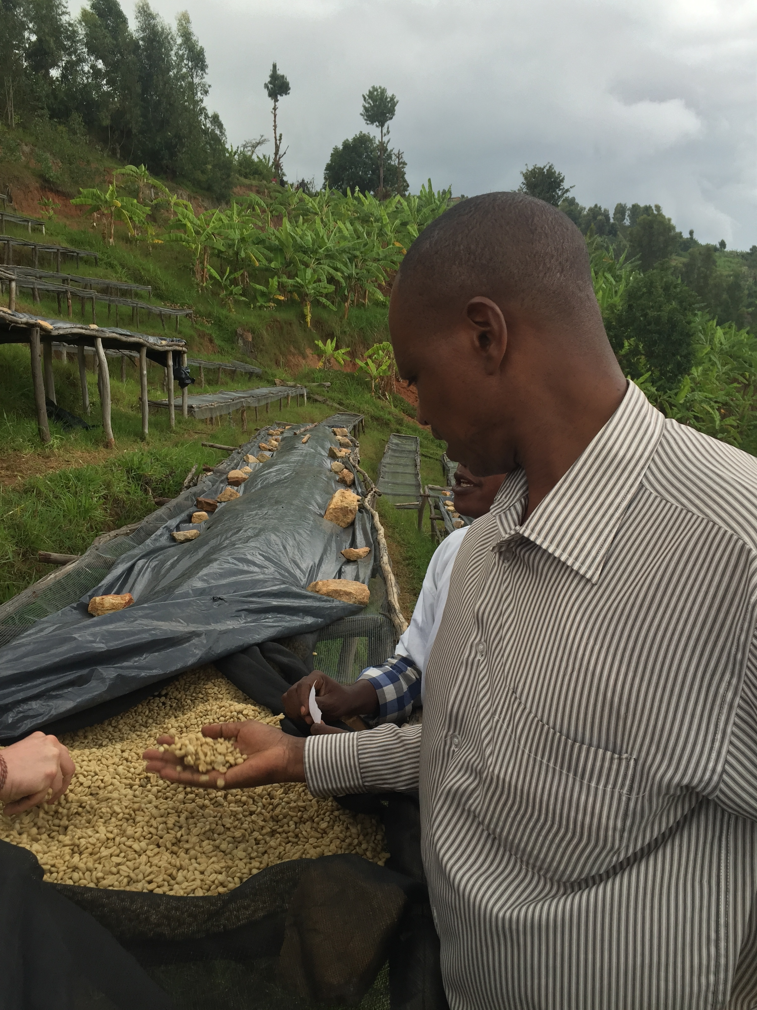 Evariste checking the drying process. Covering the coffee quickly when it threatens to rain is essential.