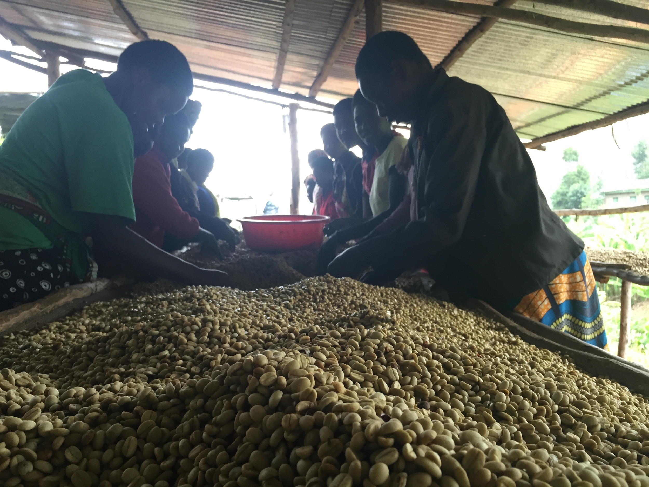Shade drying beds and sorting. Temporary workers can amount to fifty at the height of the harvest season.