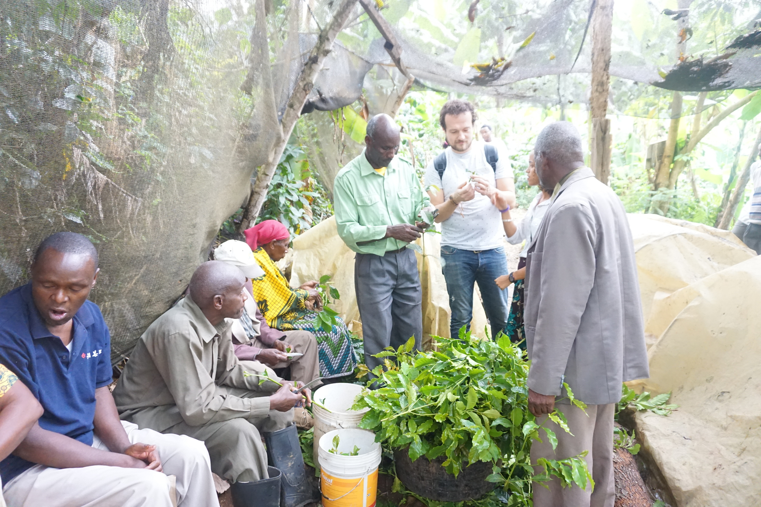 Lennart meeting the farmers and finding out exactly what stickling is. Every year, the farmers make new trees out of branches that grow vertically out of a specially bent nursing tree and plant them in a covered greenhouse.