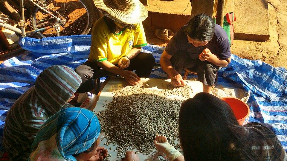 Hand-sorting at the home micro-mill, as most Thai specialty coffee is pre-sorted.