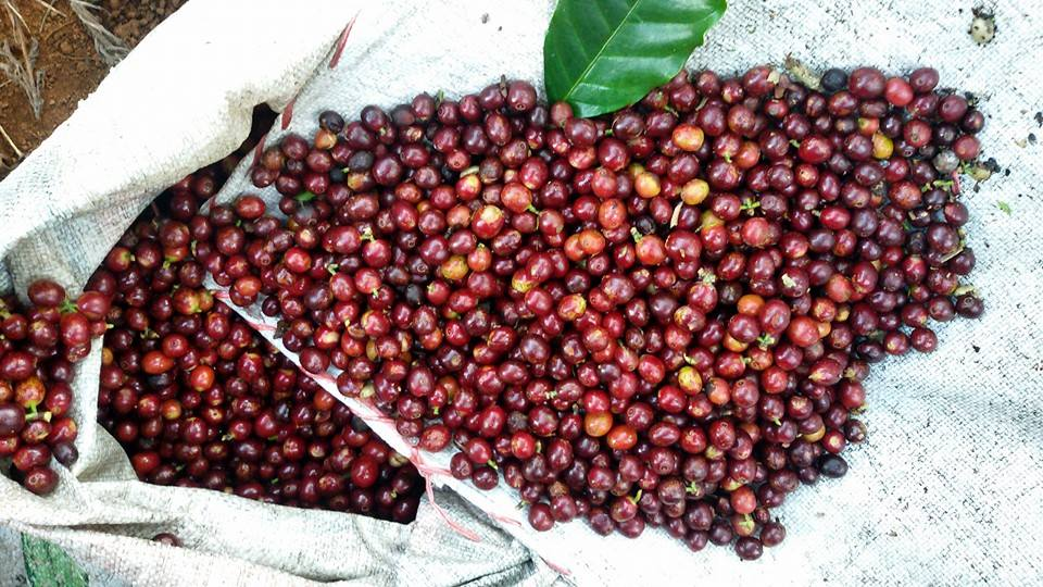 Ripeness all round, these Catimor cherries are ready for immediate pulping.