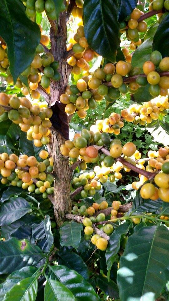 Good view of the yellow Catimor variety.