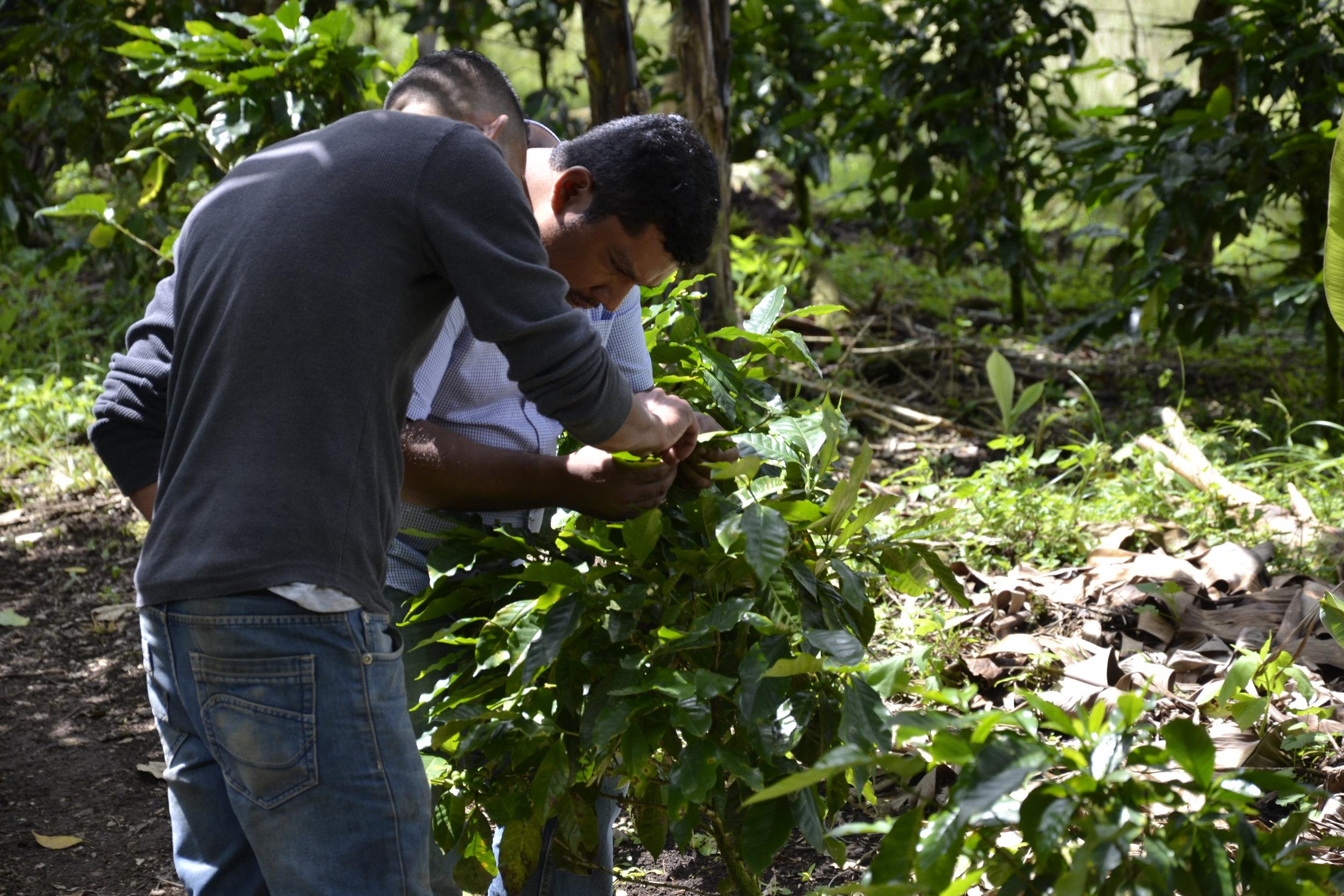Francisco and Otoñiel Cantero examining a coffee shrub at finca Mi Dulce Luna.