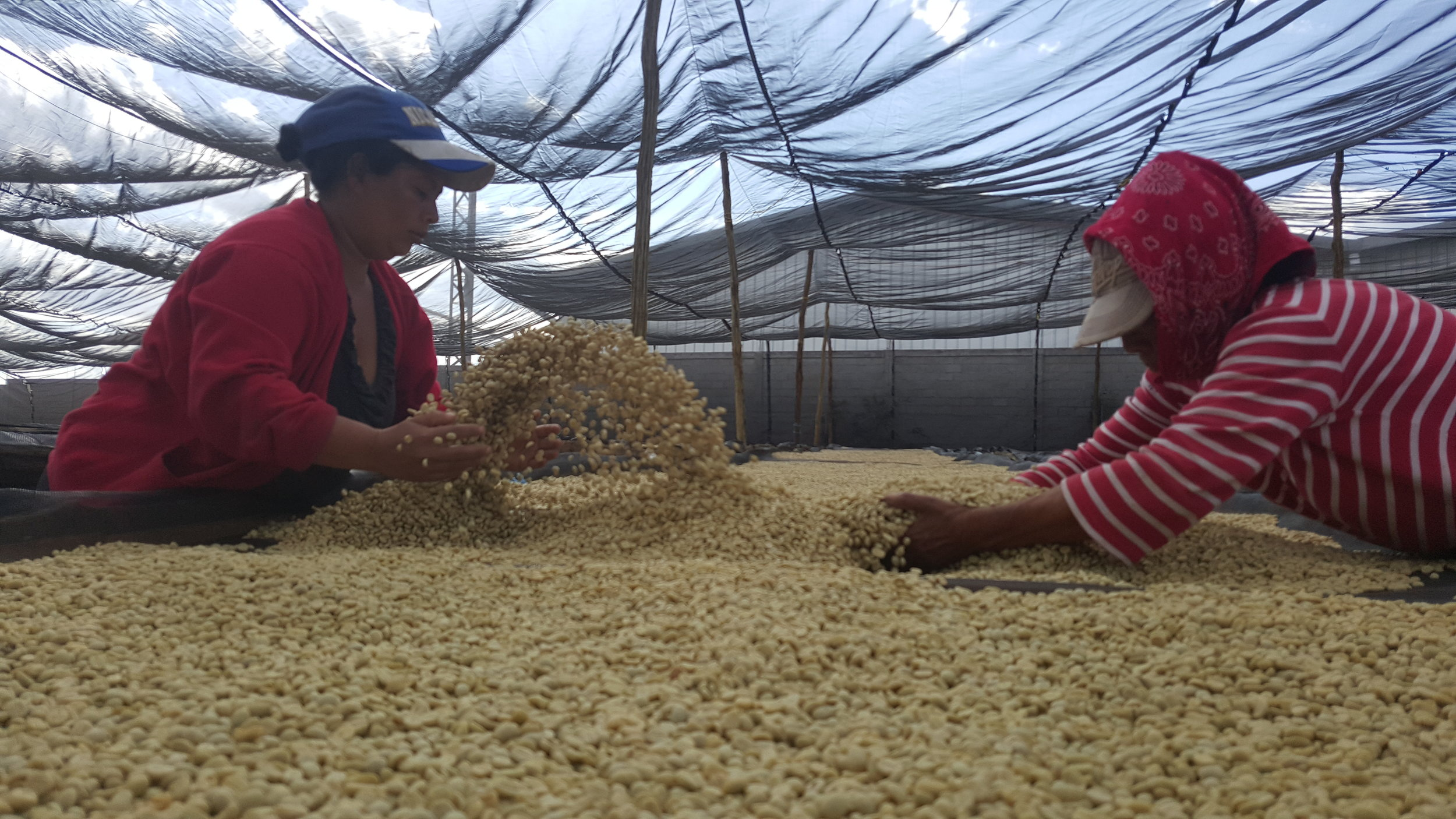 Women sorting the different small farm lots for Flor Silvestre at Beneficio La Guadalupana's drying tables.