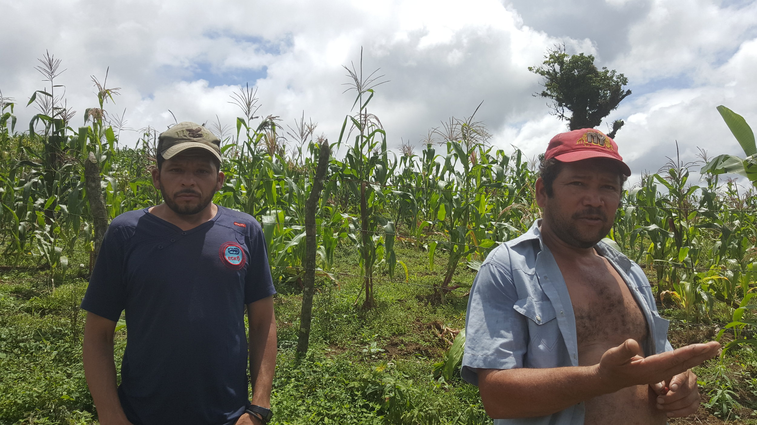 Farm workers in the corn field adjacent the coffee.